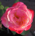Rose 052115 01 by acurmudgeon