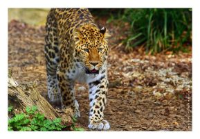 Amur Leopard by JRose-Photography