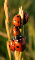 Even more Ladybirds by 1anna