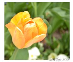 Spring Tulip by DHolden