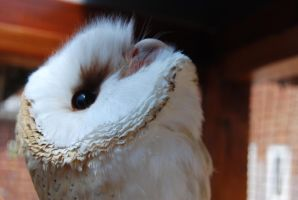 BARN OWL CLOSE UP by Theshelfs