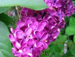 Lilacs 13 May 2015-04 by SkyfireDragon