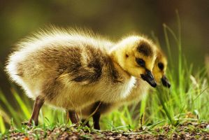 Goslings by Kintarotpc