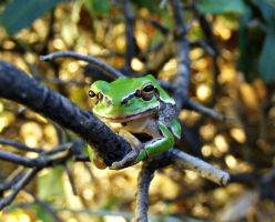 green frog by lisans