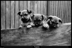 Puppies by --tom--