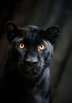 Black Beauty - Panther Portrait by Manu34