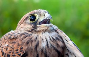 European Kestrel by Orzel