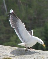 Seagull 5 by Chance-STOCK