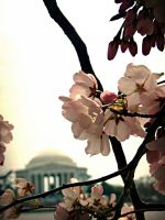 cherry blossoms by givepeaceeachance