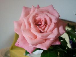 Pink Rose 1 by penny-duchess-stock