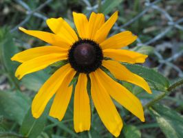 Black-eyed Susan by oneofakindgurl