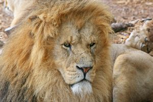 Lion by rosswillett