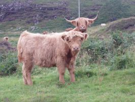 highland cow and calf by gee231205