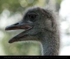 Singing Ostrich 1 by SalsolaStock