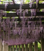Wisteria Walk by koala2all