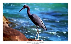 Little Blue Heron by hippiespic