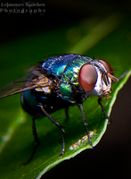 Housefly on the house 1 by lee-sutil