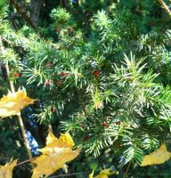 pine tree with fruits by florina23