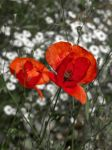 Poppy 1 by III-HATHOR-III