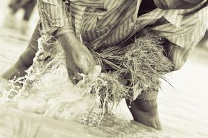Rice Farmers of Laos by joebbowers