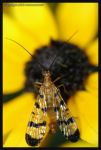 Scorpion fly, male by microcosmos