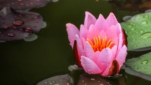 Pink Lotus by XanaduPhotography