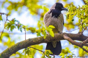 Hooded crow by AlecsPS