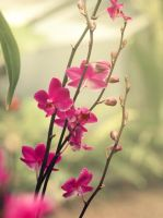 Pink Orchids by Britneyanne94