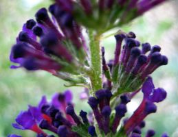 Butterfly Bush 6 by Holly6669666