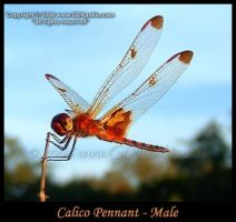 Calico Pennant - Male 1 Zoom by GD-litenin