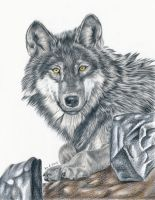 Wolf - colored pencil drawing by kad-portraits