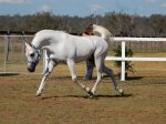 GE Arab elevated trot neck arched side view by Chunga-Stock