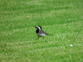 stompy wagtail by harrietbaxter