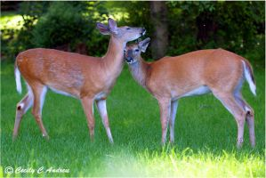 Deer Love II by CecilyAndreuArtwork