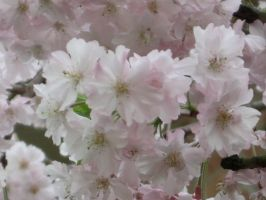 Cherry blossoms by Rosie311