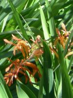 Crocosmia close up by HouseofChabrier