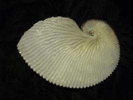SHELL 3 by zraclooc
