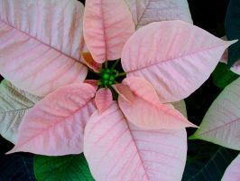 Pink Poinsettia by mrmd53