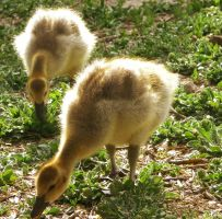 Goslings by Bimmi1111