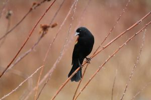 Red-winged Blackbird by davidst123