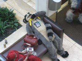 Raccoon takes a rest by Rennon-the-Shaved