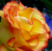 Yellow rose by aninur