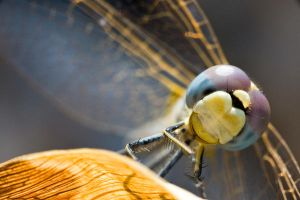 dragonfly 4 by scott-leeson