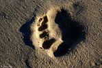 Footprint by coracoideus