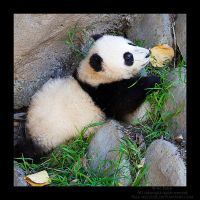 Baby Giant Panda by Pale-Recluse