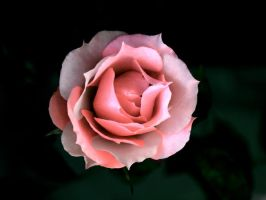 pinky rose by TK310