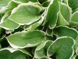 Hosta Leaves by Bwabbit