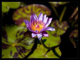 Purple Lilly by FT69
