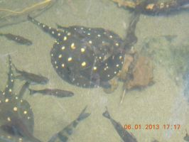 Bigtooth  river stingray by tabby25