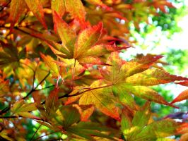 Red Maple 2 by sophie427